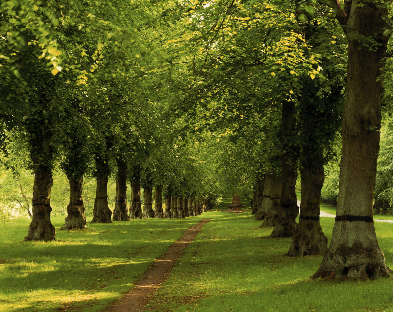 The Lime Tree Avenue at Clumber Park, the longest such avenue in Europe almost 2 miles long, planted in about 1840 by the 4th Duke